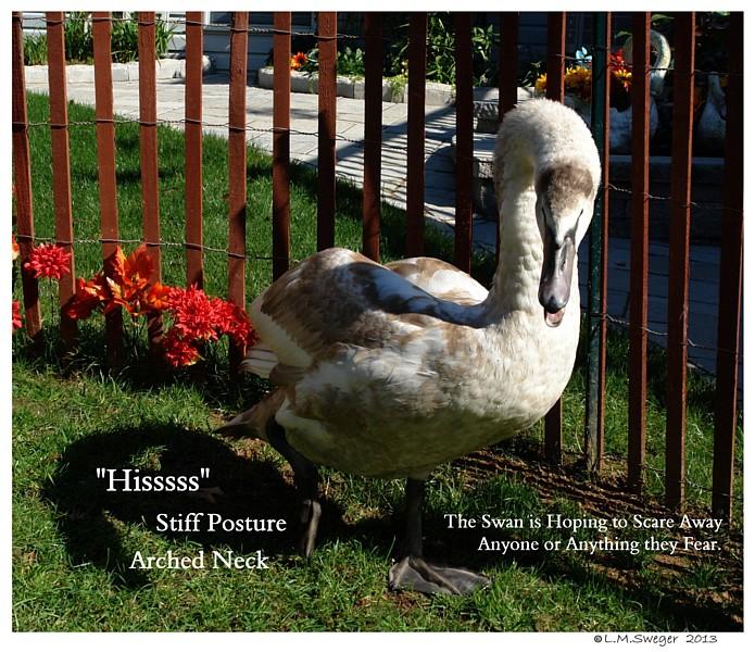 Common Mute Swan Behavior   Protective Fear