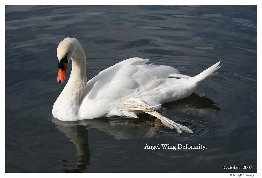 Mute Swan Angel Wing Deformity