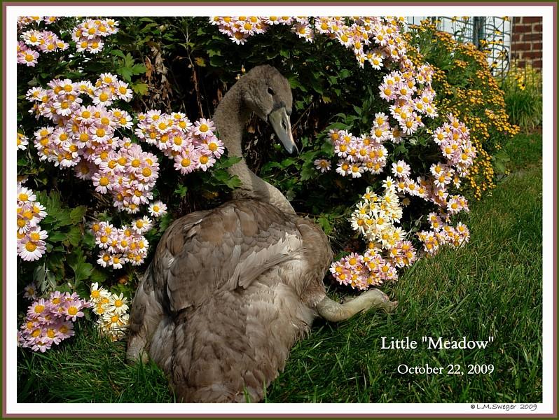 Common Mute Swan Behavior   Just Plain Cute