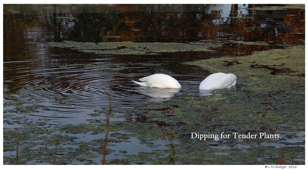 Common Mute Swan Behavior   Eating Grazing Under Water