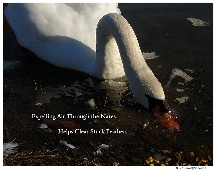 Common Mute Swan Behavior   Blowing Bubbles