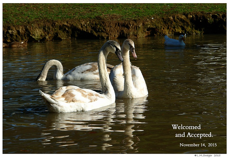 Common Mute Swan Behavior  Welcome