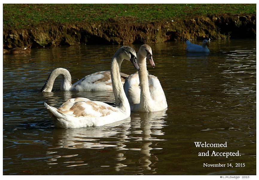 Common Mute Swan Behavior  Welcome