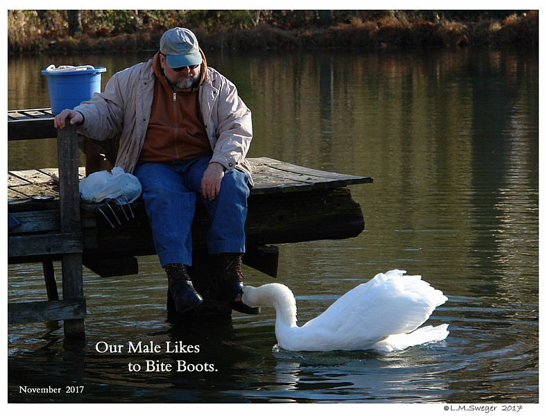 Common Mute Swan Behavior  Cob  Non Aggressive  Biting Boots
