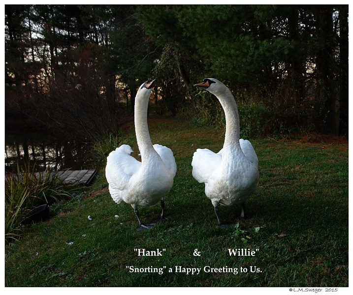 Common Mute Swan Behavior   Happy Greeting
