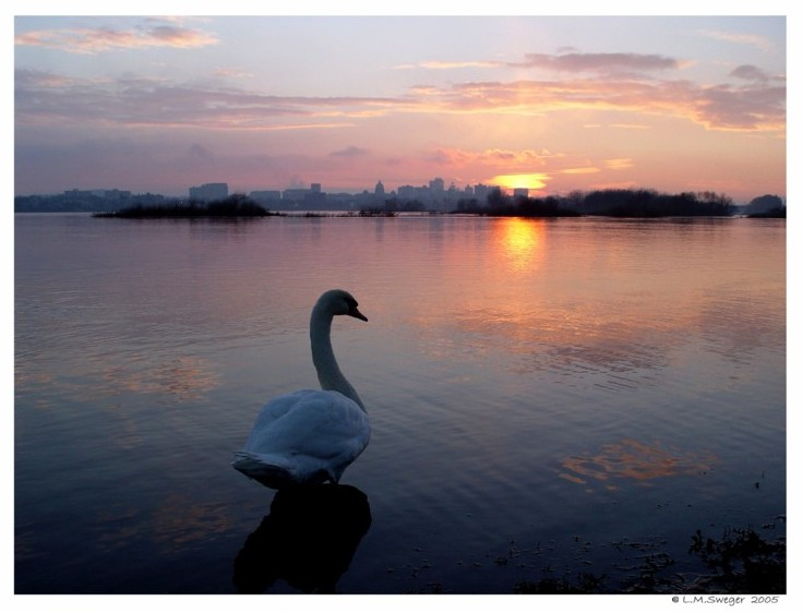 Common Mute Swan Behavior  Watching  Sun Rise  Sun Set