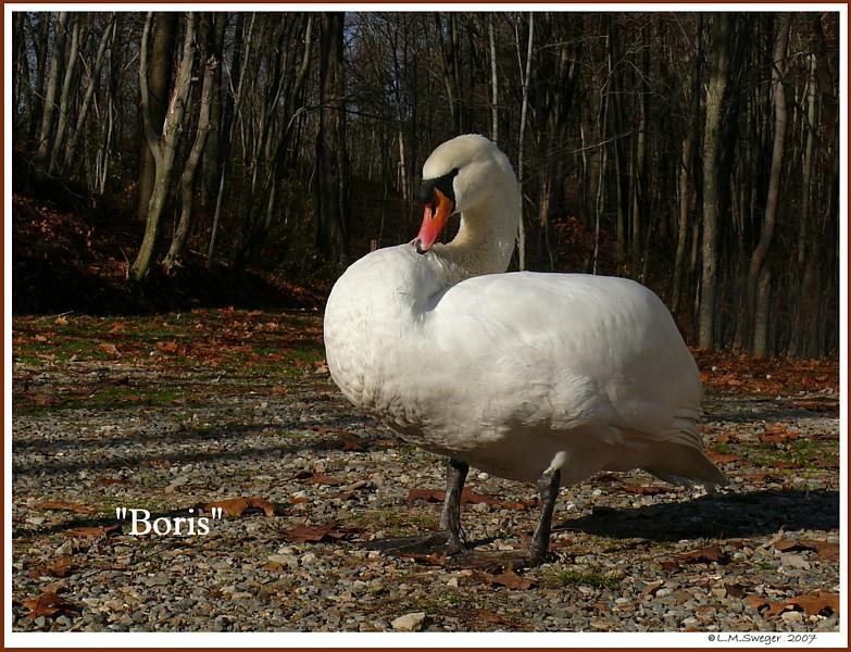 Common Mute Swan Behavior  Pair Bonded