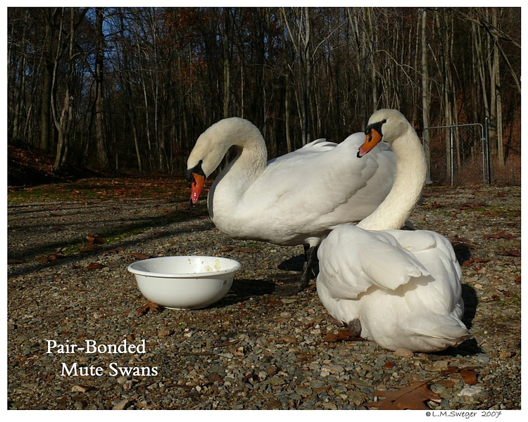 Common Mute Swan Behavior  Pair Bonded