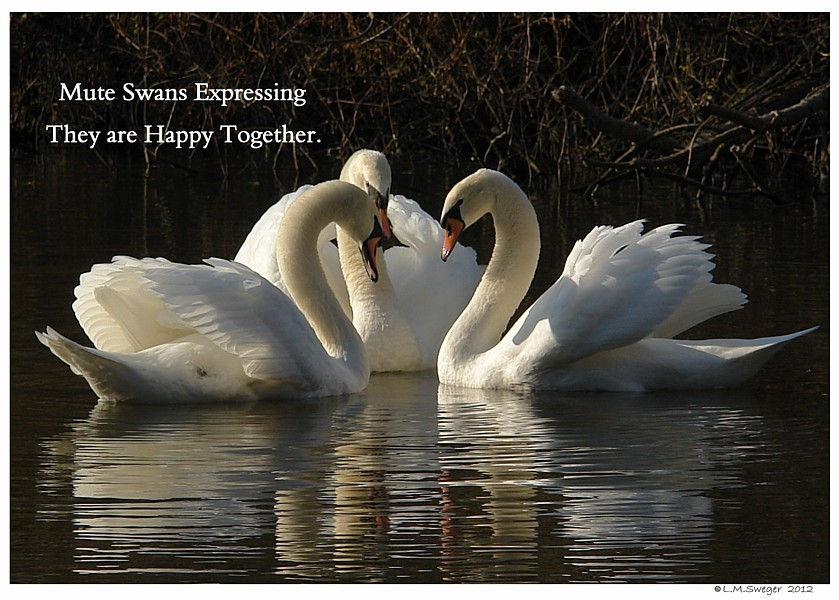 Common Mute Swan Behavior  They Remember Happy