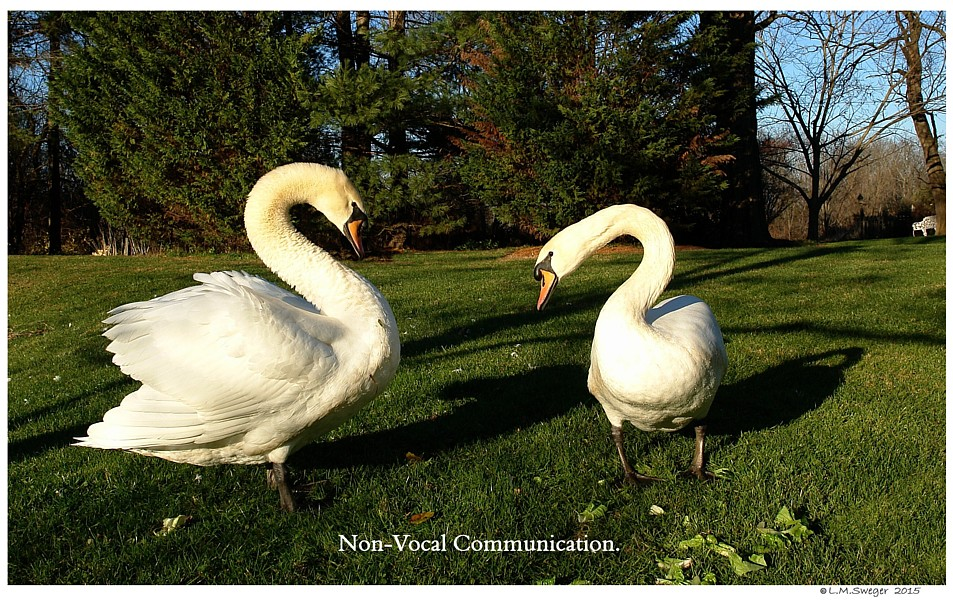 Common Mute Swan Behavior  Cautious Visit
