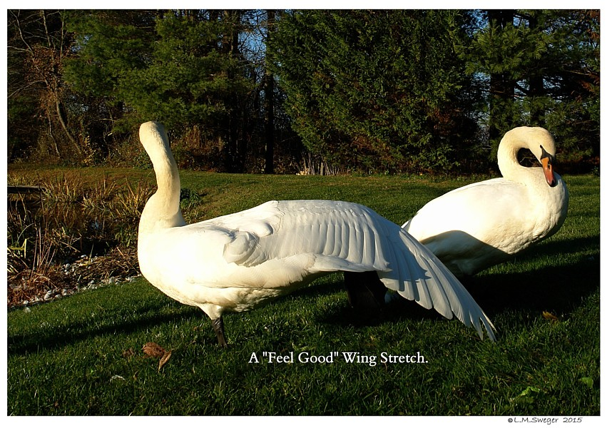 Common Mute Swan Behavior   Swan Stretching Leg Wing