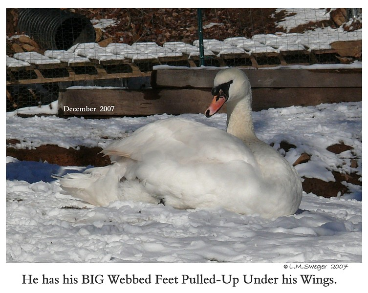 Common Mute Swan Behavior  Winter  Snow  Ice