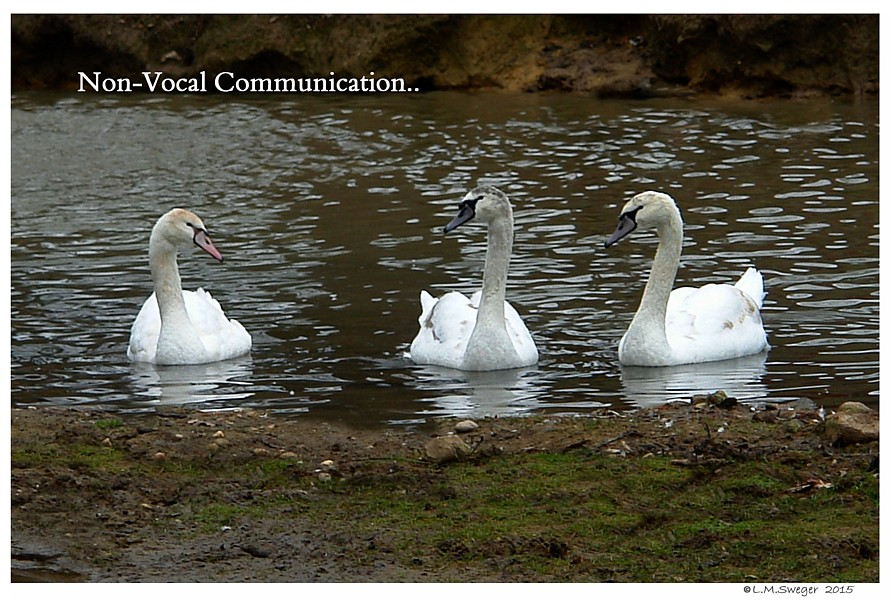 Common Mute Swan Behavior  Non-Vocal Communication