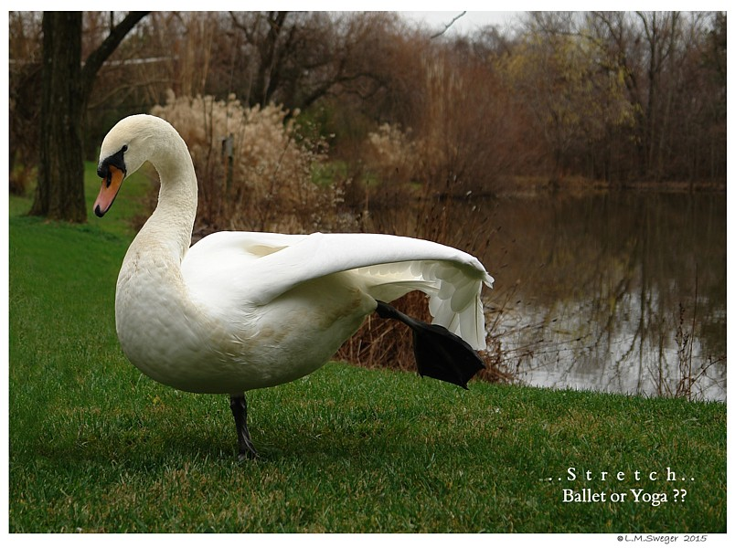 Common Mute Swan Behavior   Swan Stretching Leg Foot