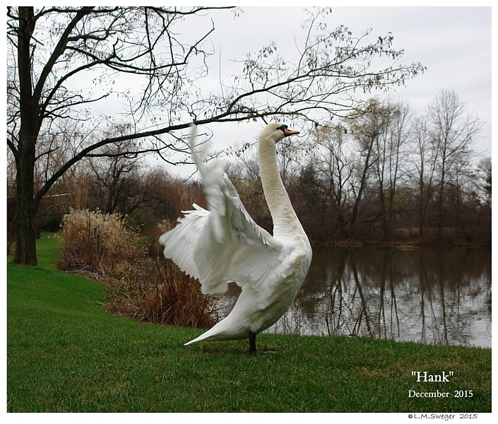 Common Mute Swan Behavior   Flapping Wings