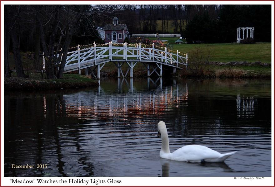 Common Mute Swan Behavior  Winter  Lights