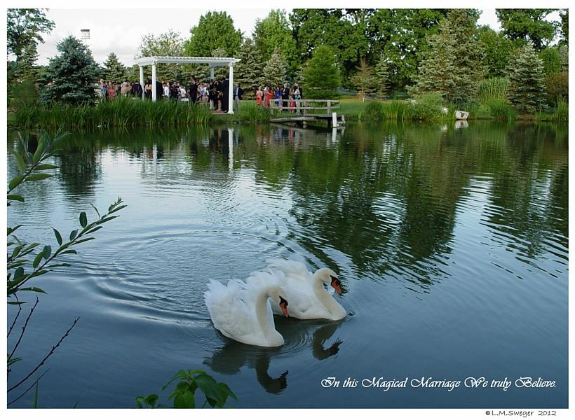 Common Mute Swan Behavior   Family Wedding  Dancing