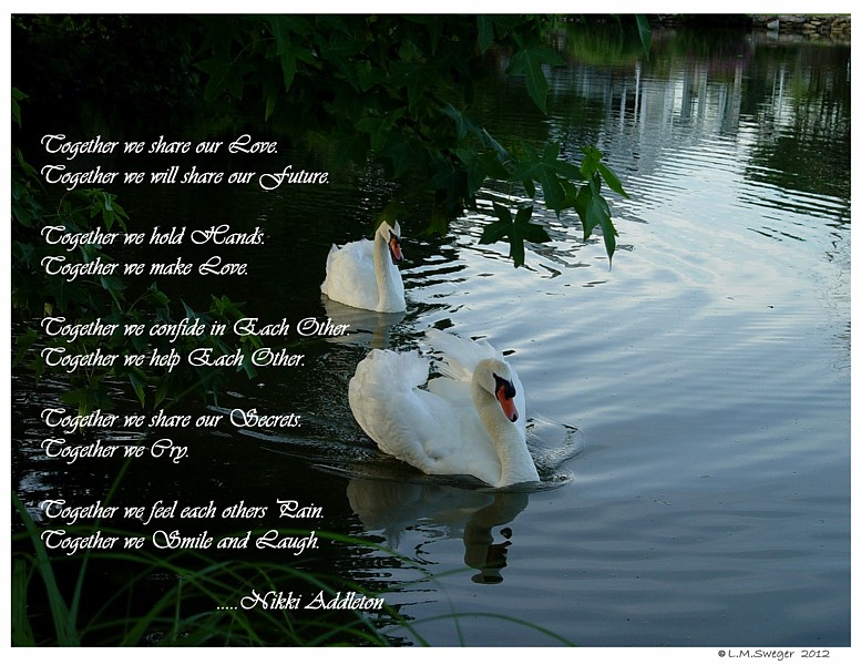 Common Mute Swan Behavior   Family Wedding
