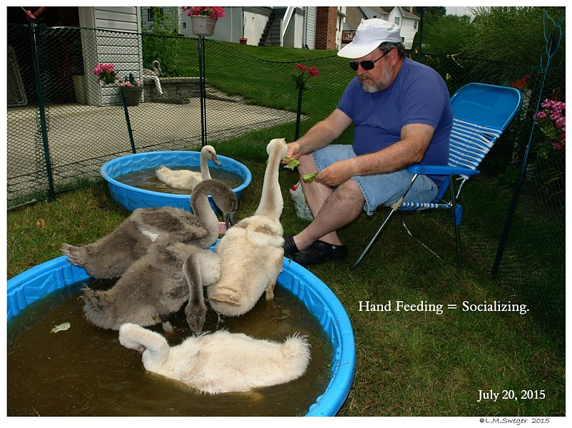 Swan Cygnet Feeding Stations