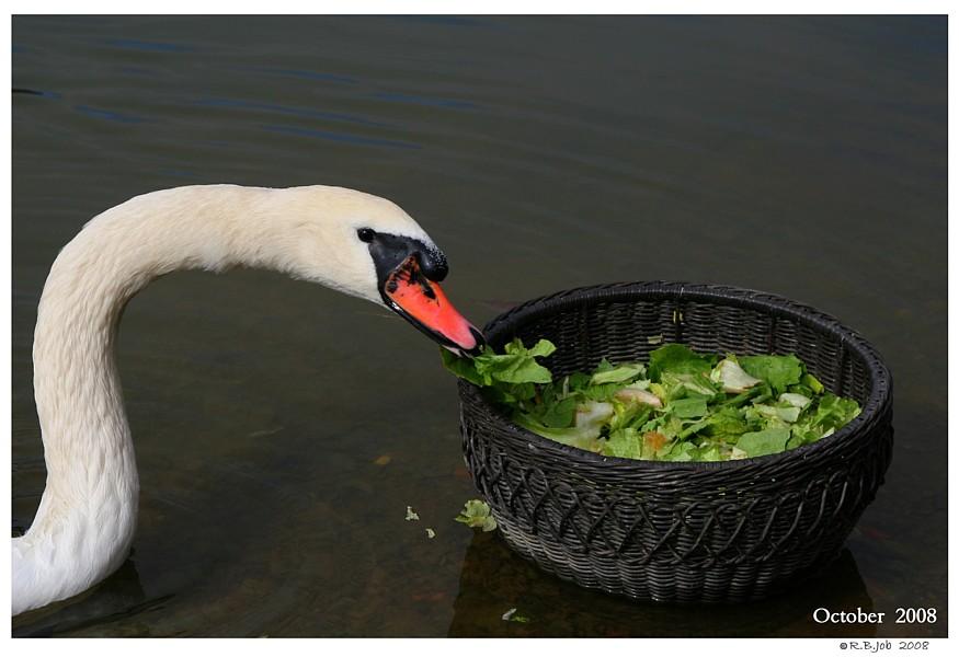 Swan Feeding Station