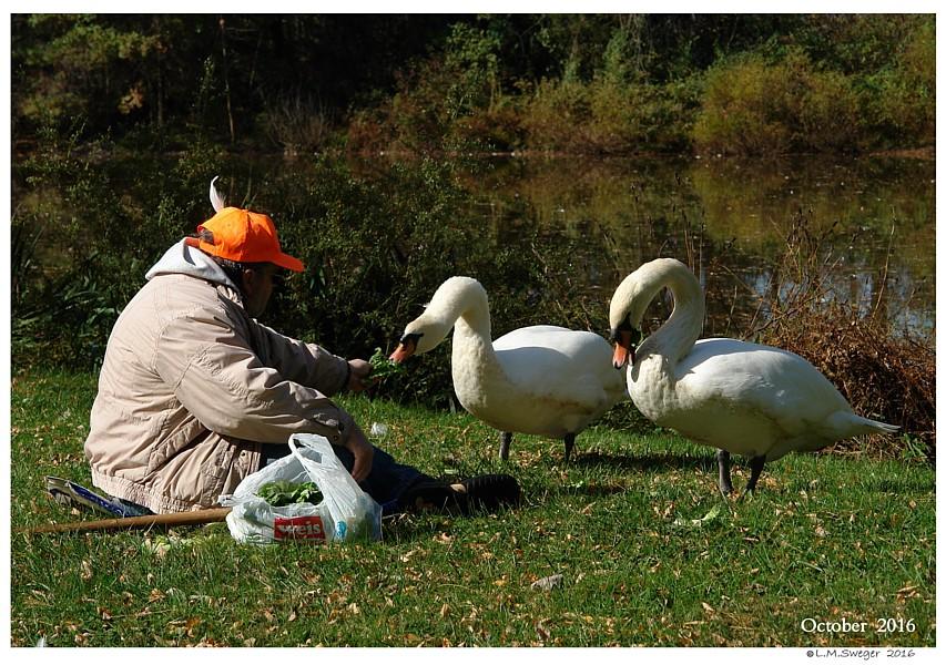 Swan Cygnet Feeding Stations