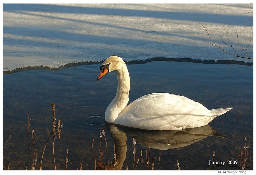 DO NOT Sterilize Swans