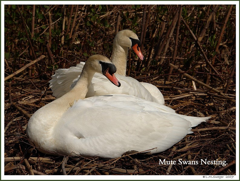 DO NOT Sterilize Swans