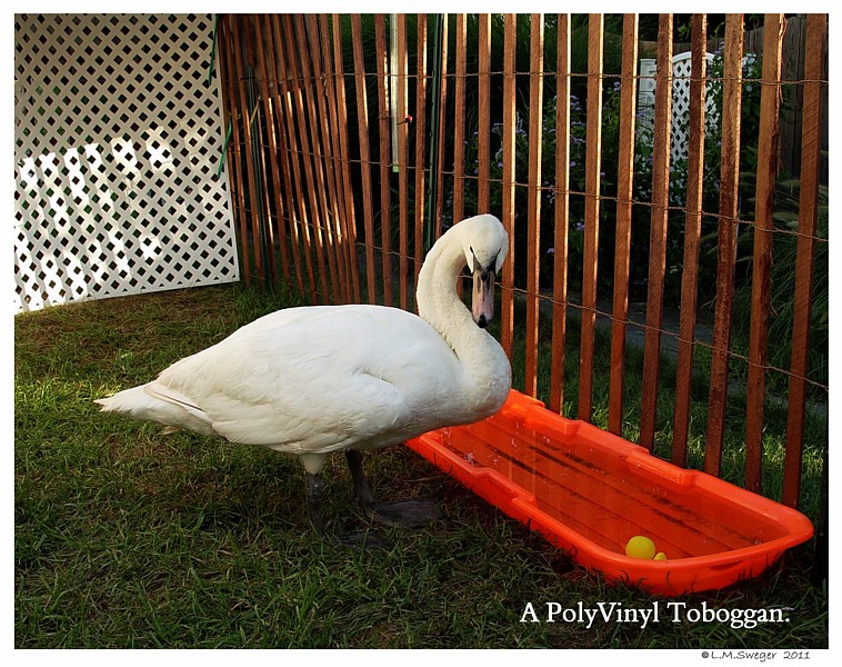 Feeding Station for Swans
