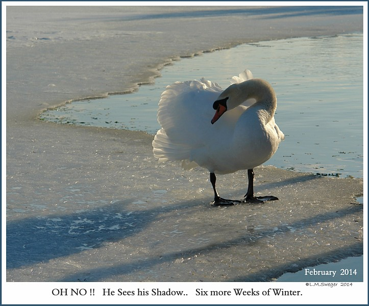 """Keeping a """"Winter Wake"""" for Swans"""