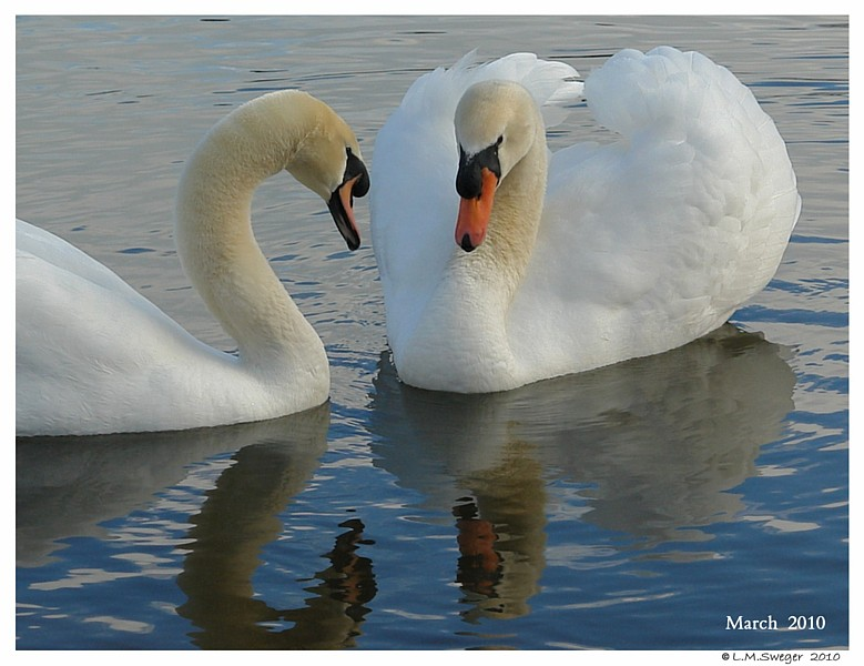 When Will Swan Eggs Hatch