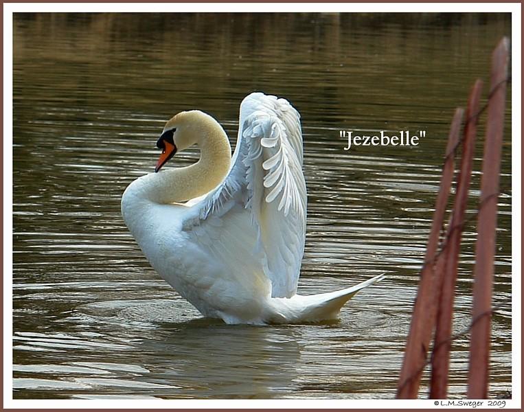 Feral Rogue Female Mute Swan  Jezebelle
