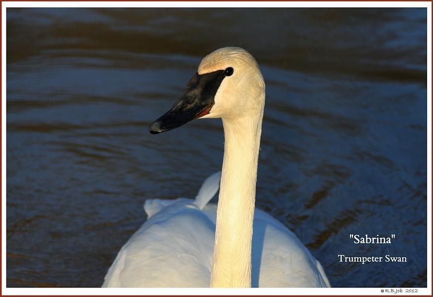 Female Trumpeter Swan Sabrina