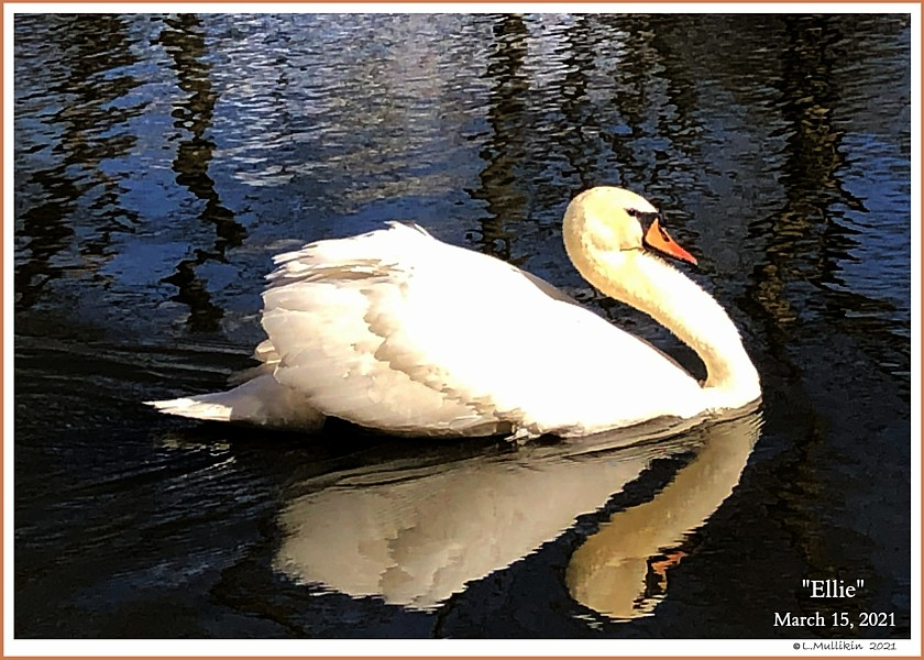 Female Mute Swan Ellie
