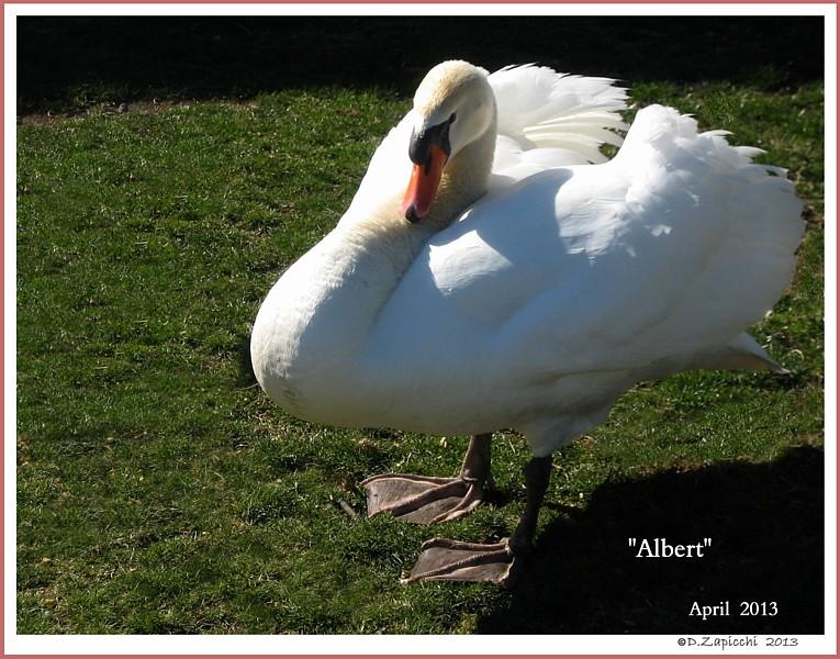 Polish Mute Swan Cob Albert