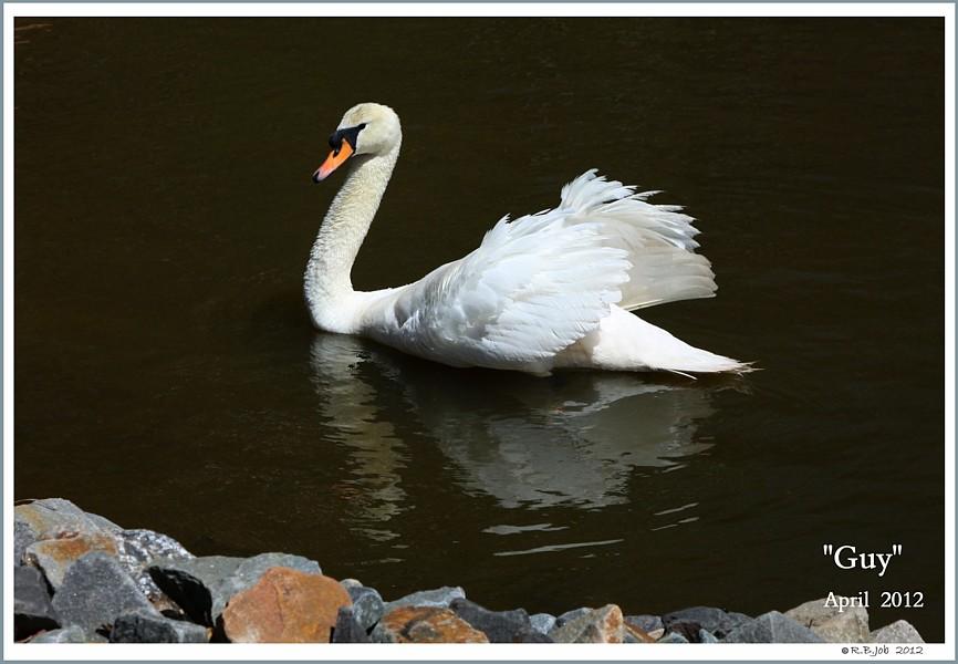Male Mute Swan Guy