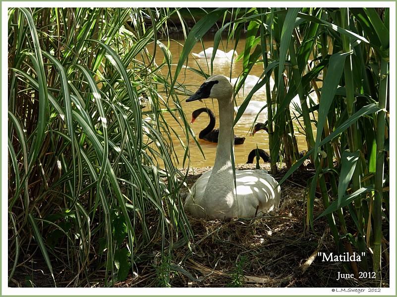 Female Trumpeter Swan Matilda