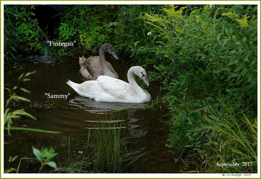 Male Nest Mate Mute Cygnets  Finnegan  Sammy