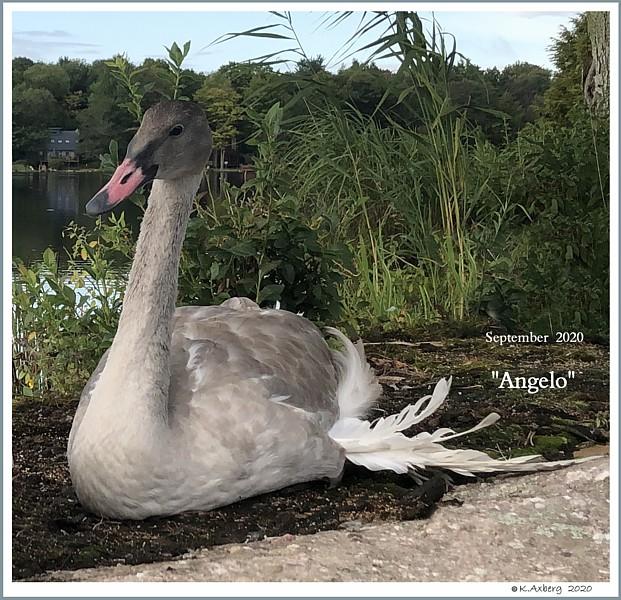 Trumpeter Swan Cygnet Angelo  Angel Wing Deformity