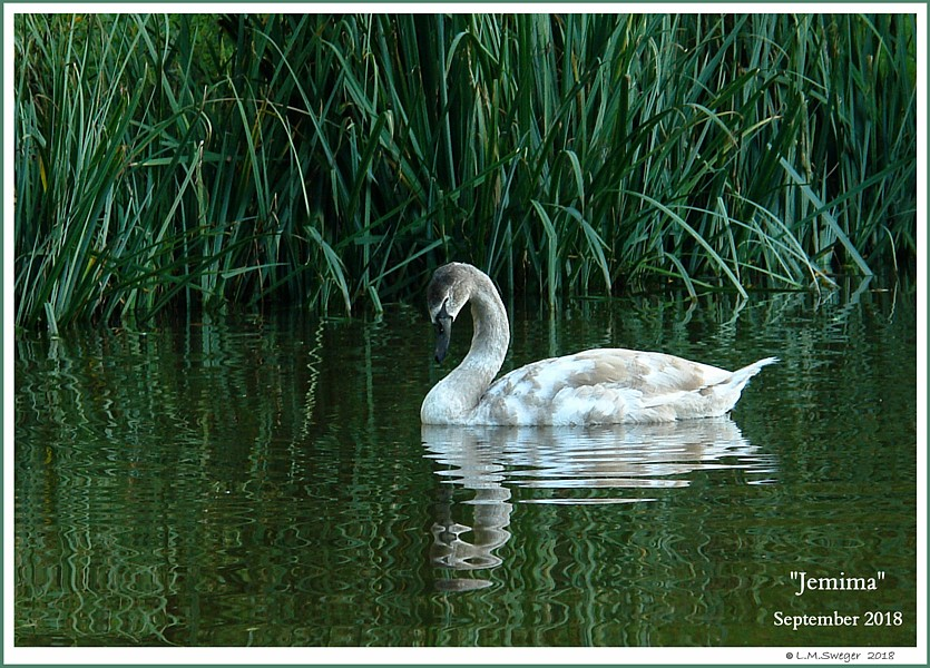 Rescued Female Mute Swan Jemima