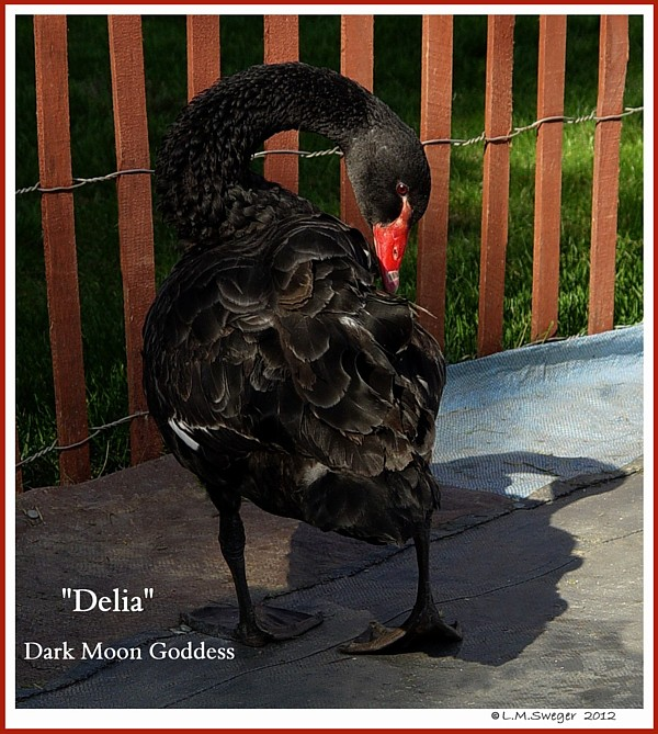 Female Black Australian Swan Delia