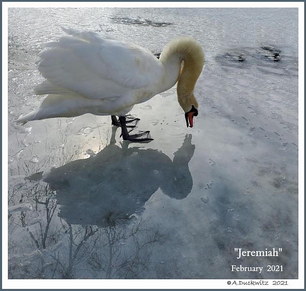 Mute Swan Jeremiah
