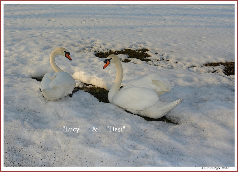 Brood Mute Swans Lucy Desi