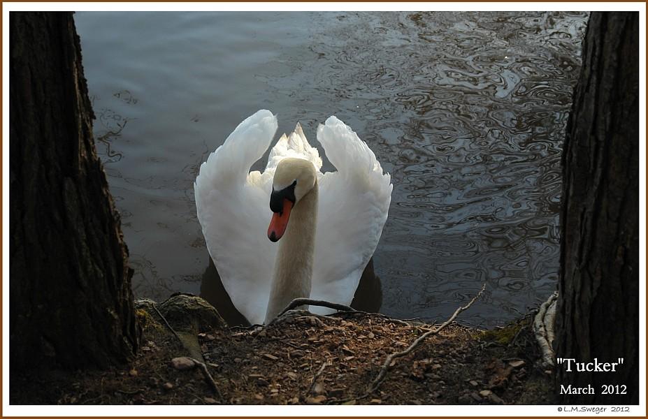 Mute Swan Tucker