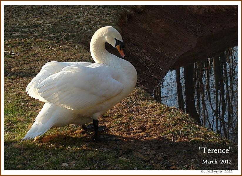 Mute Swan Terence