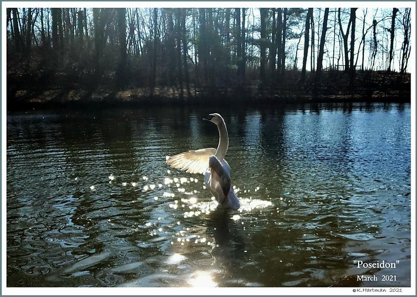 Mute Swan Poseidon