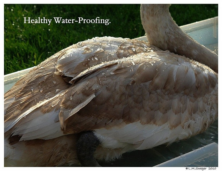 Mute Swan Feather Waterproofing