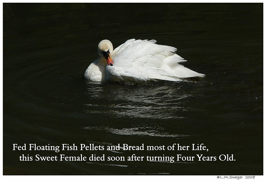 Mute Swans Need to Eat Captive Mute Swans Feeding Swans