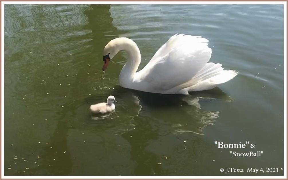 Mute Swan Bonnie