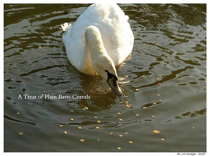 Swans Cereal Snack Mix Captive Mute Swans Feeding Swans