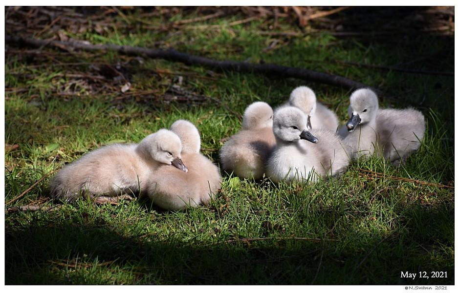 Feeding Adult Mute Swans   Mute Swan Cygnets